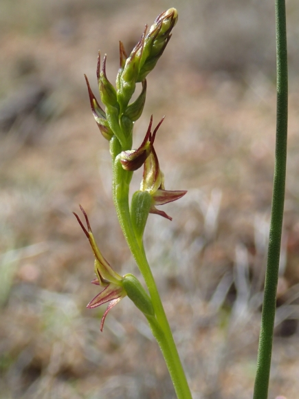 Named from the Latin - gracilis (slender), alluding to the slender tips to the sepals